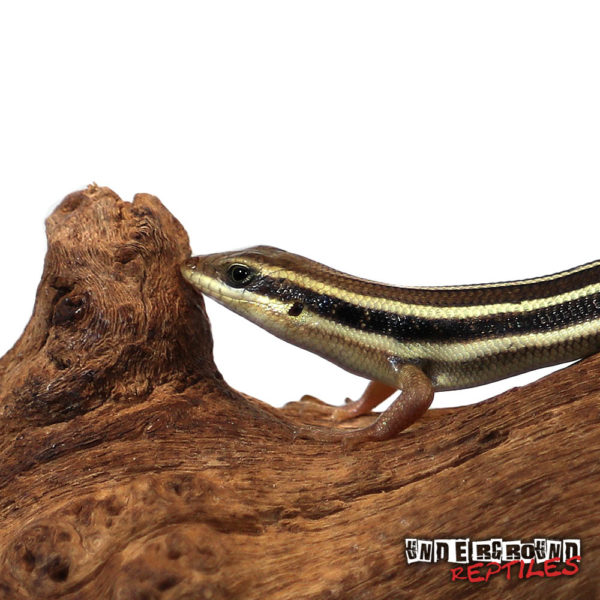 African Blue Tail Skink