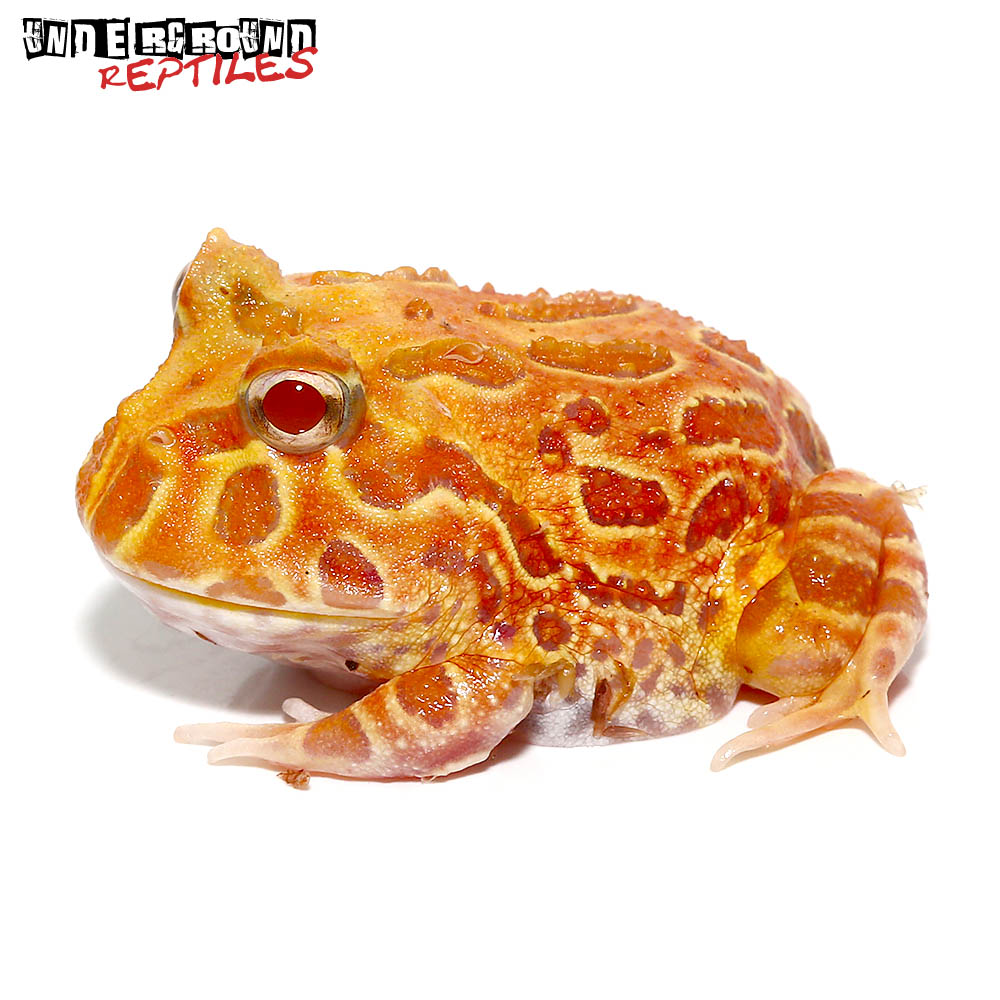 Apricot Pacman Frog