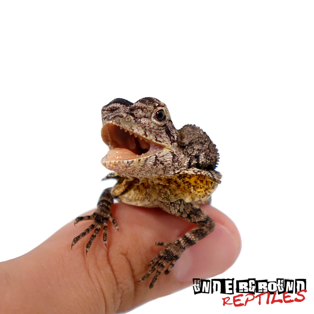 Baby Frilled Dragon