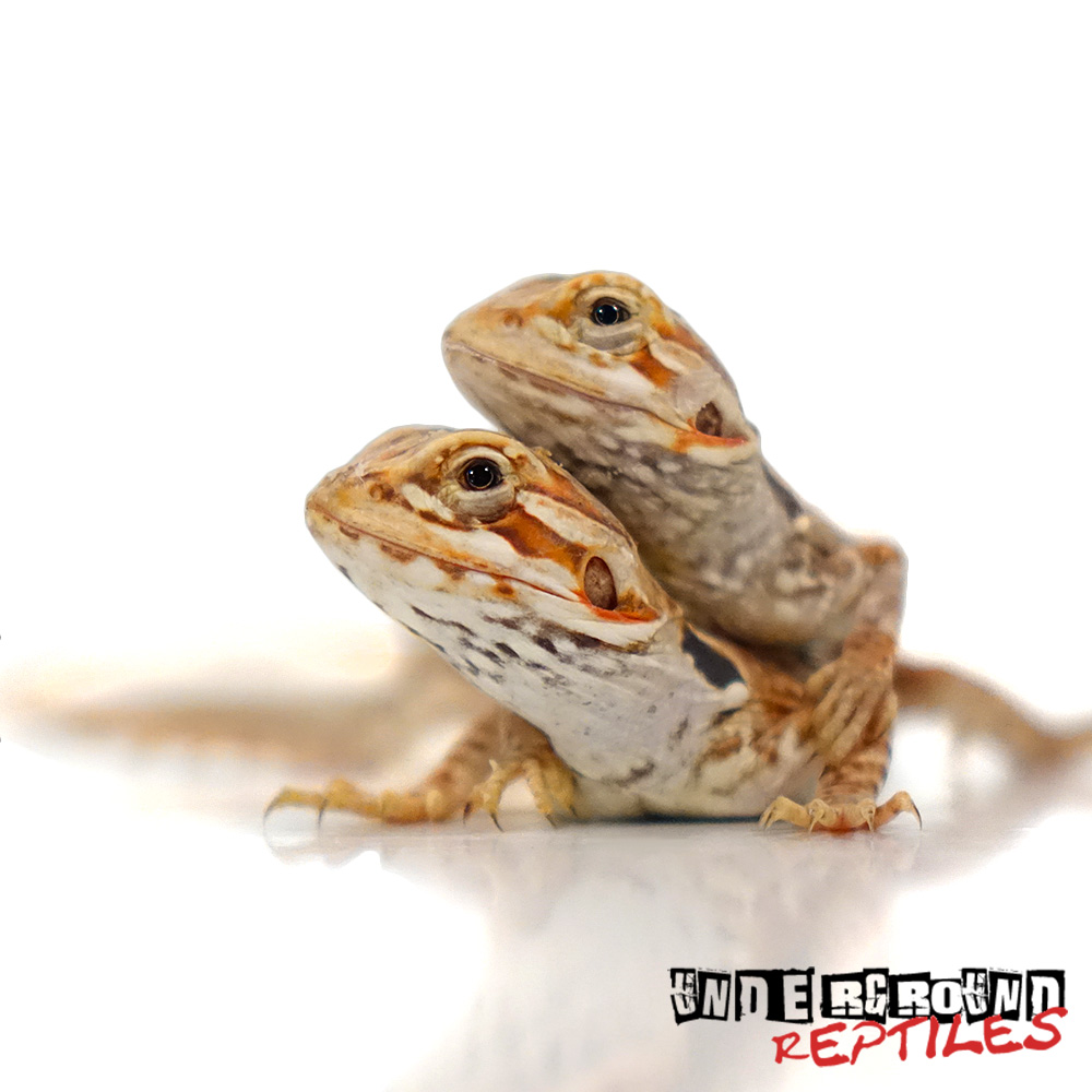 Baby Red Silky Bearded Dragon