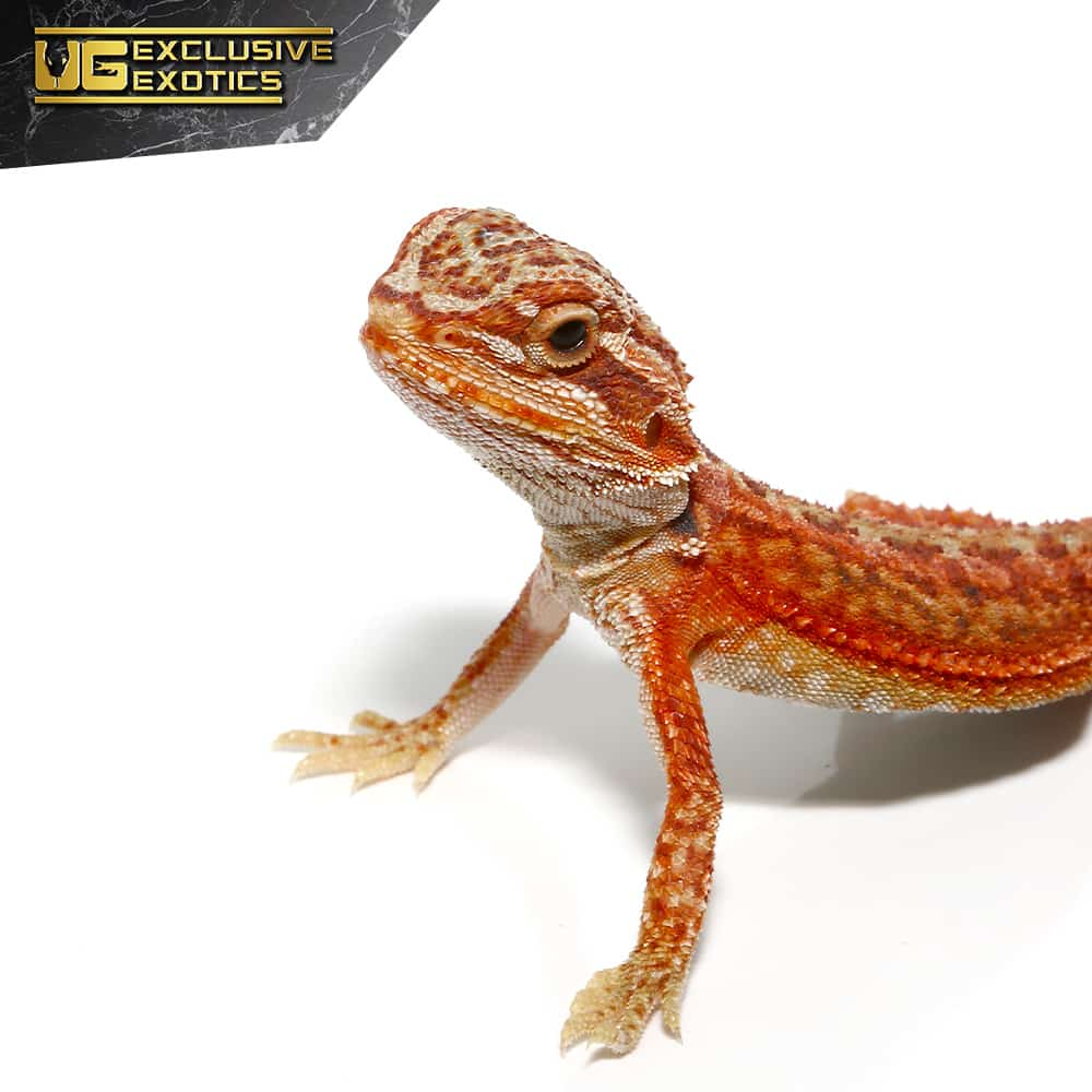 Baby Magma Hypo Translucent Dunner Bearded Dragon #2