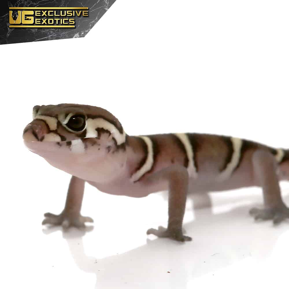 Baby Central American Banded Gecko