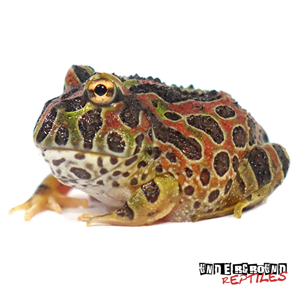 High Red Dragon Wing Ornate Pacman Frog
