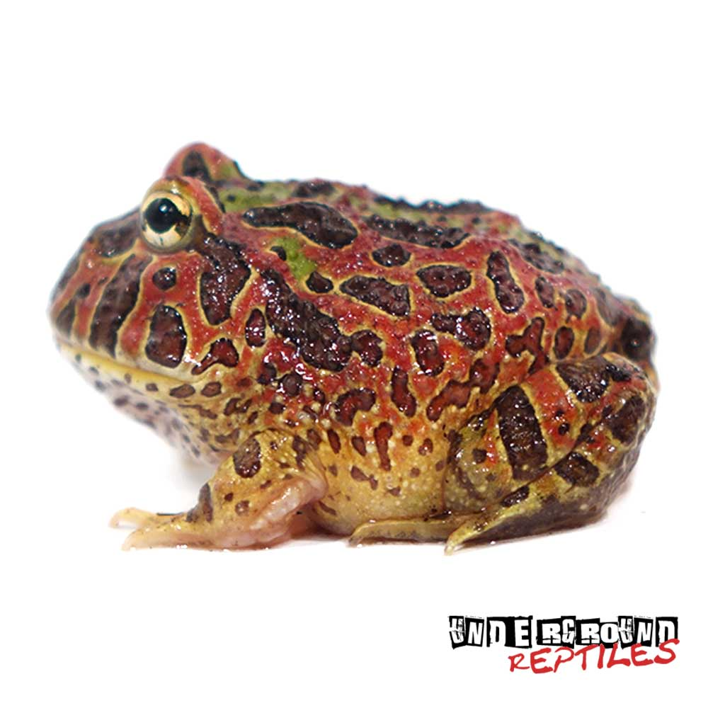 High Red Ornate Pacman Frog