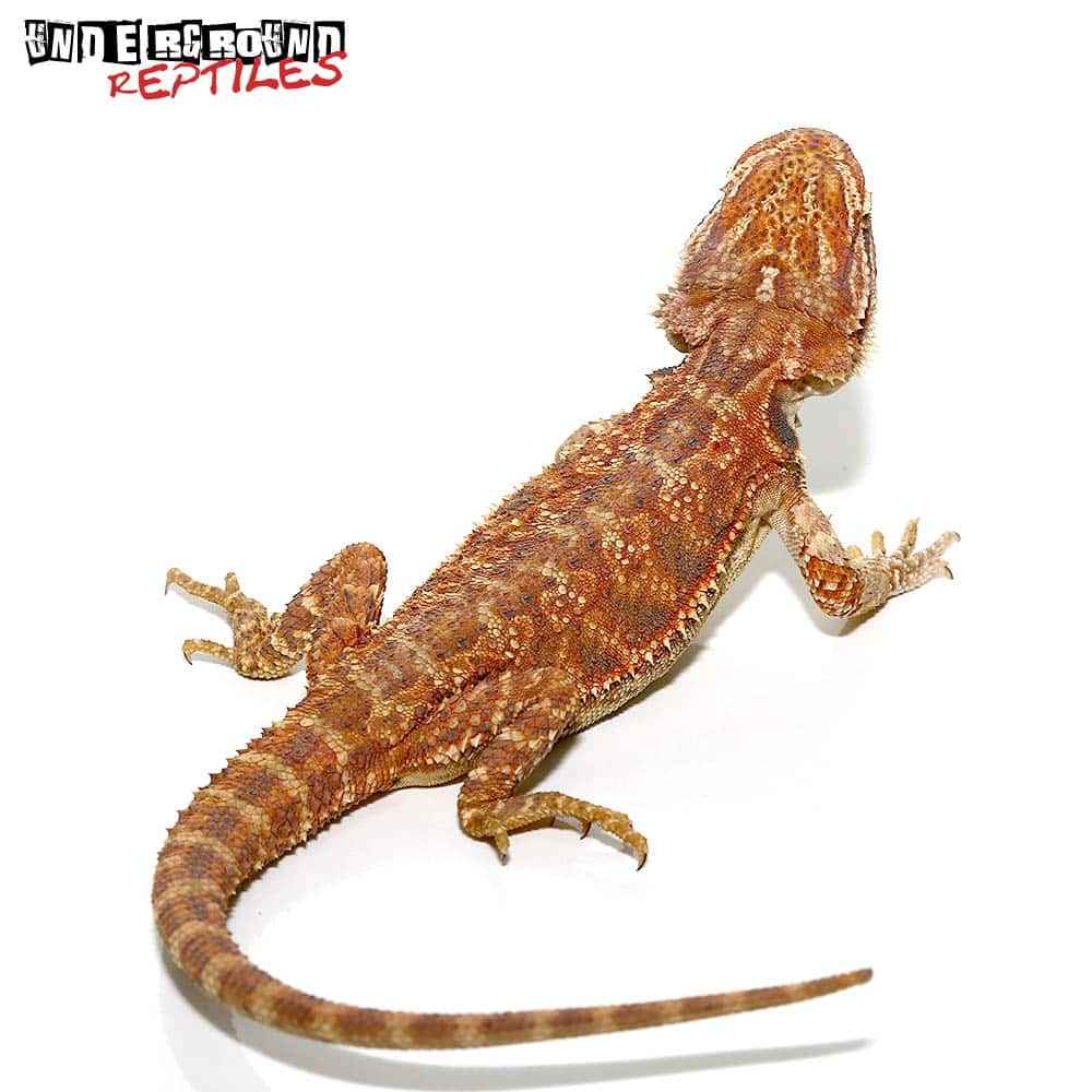 7-9 Inch Red Bearded Dragon