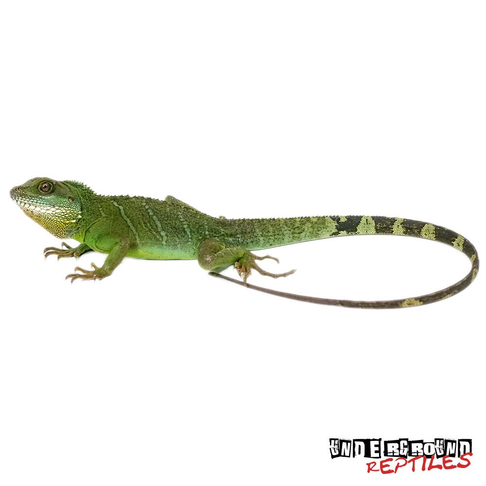 Adult Chinese Water Dragon