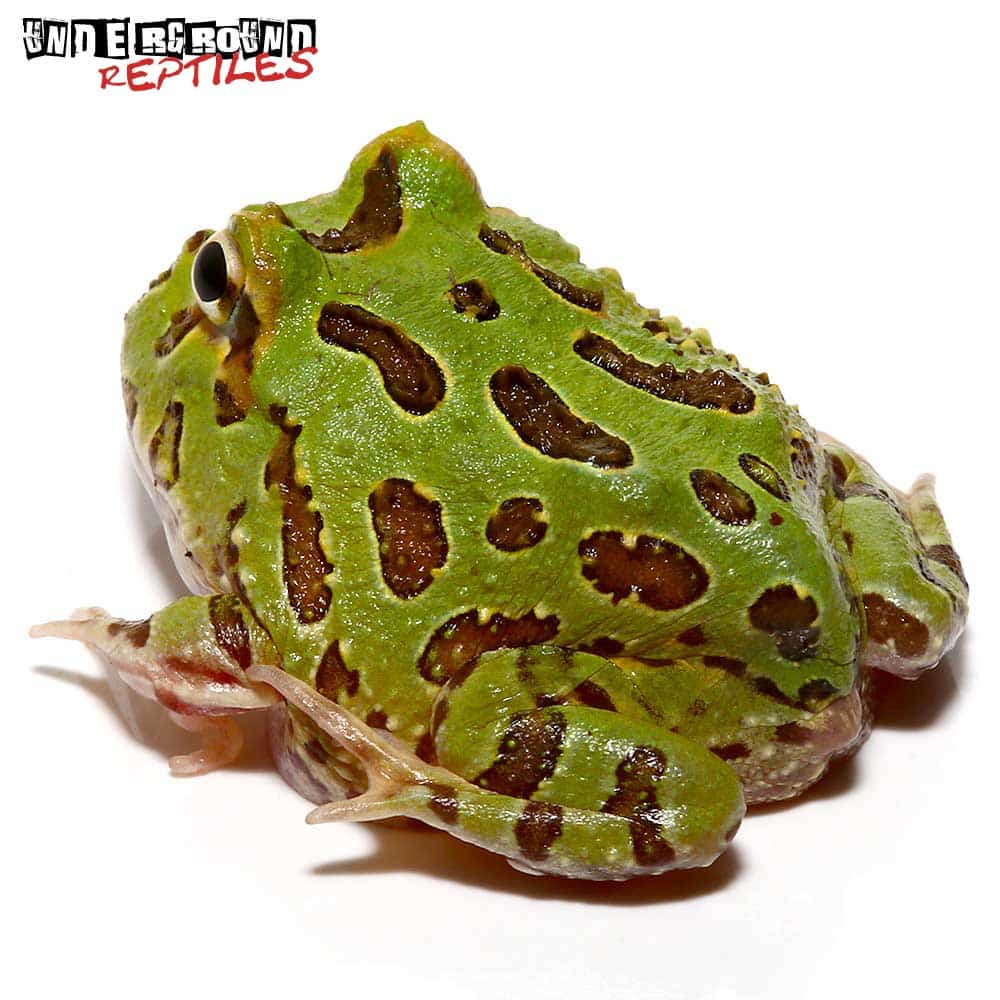 Peppermint Pacman Frog