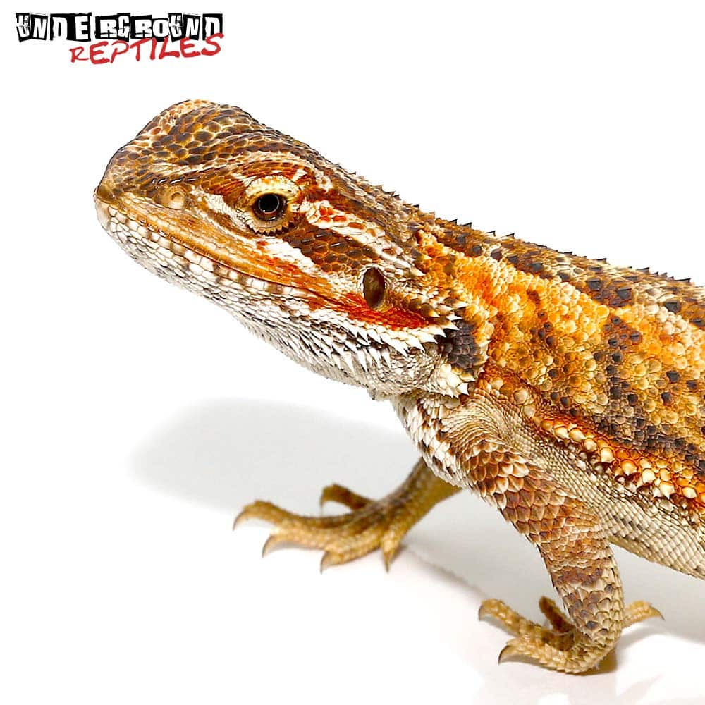 6-8 Inch Red Citrus Bearded Dragon