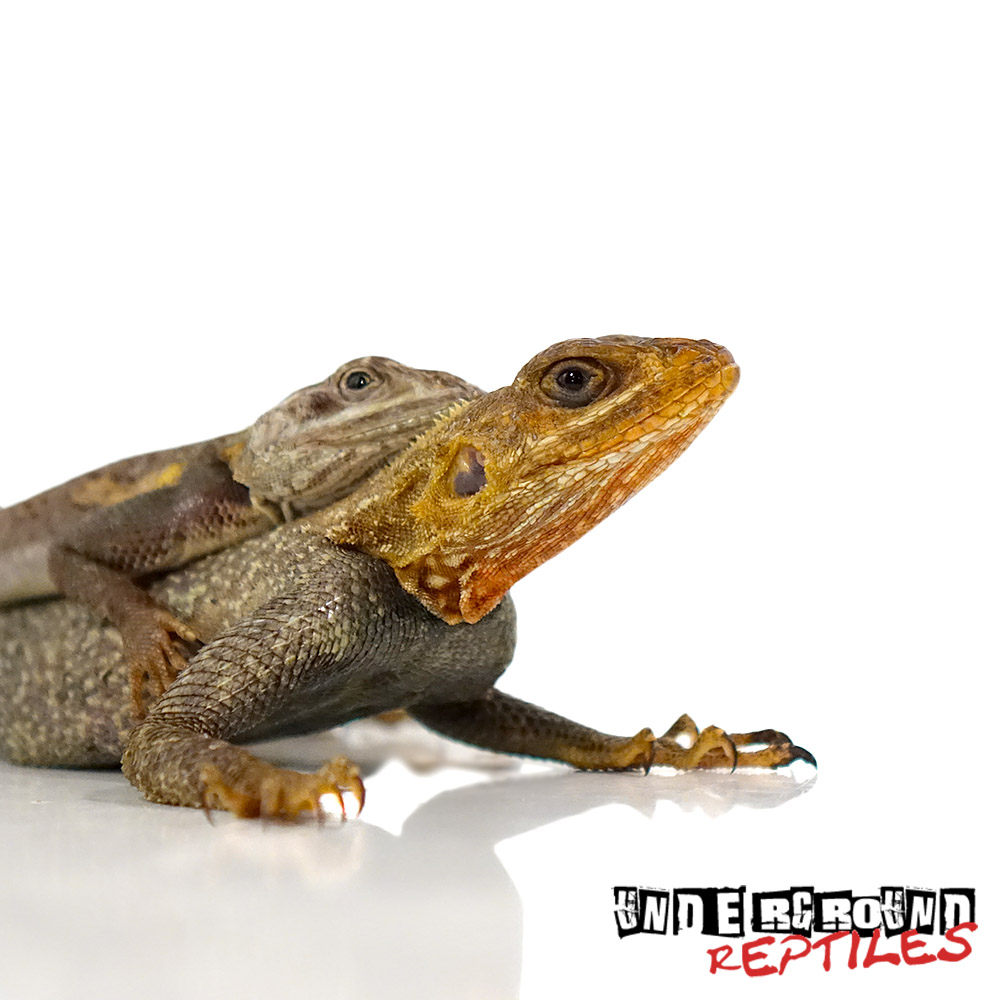 Red Headed Agama