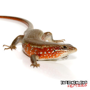 Red Sided Skink