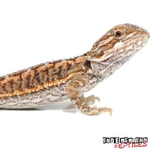 Baby Red Bearded Dragon