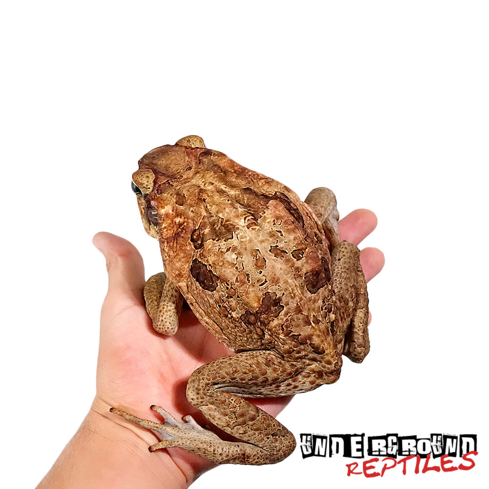 South American Giant Marine Toad