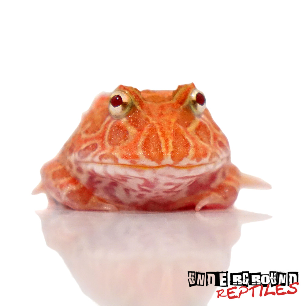 Strawberry Pacman Frog