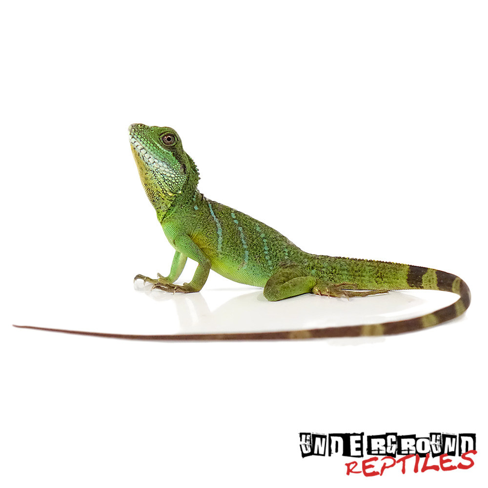Sub Adult Chinese Water Dragon