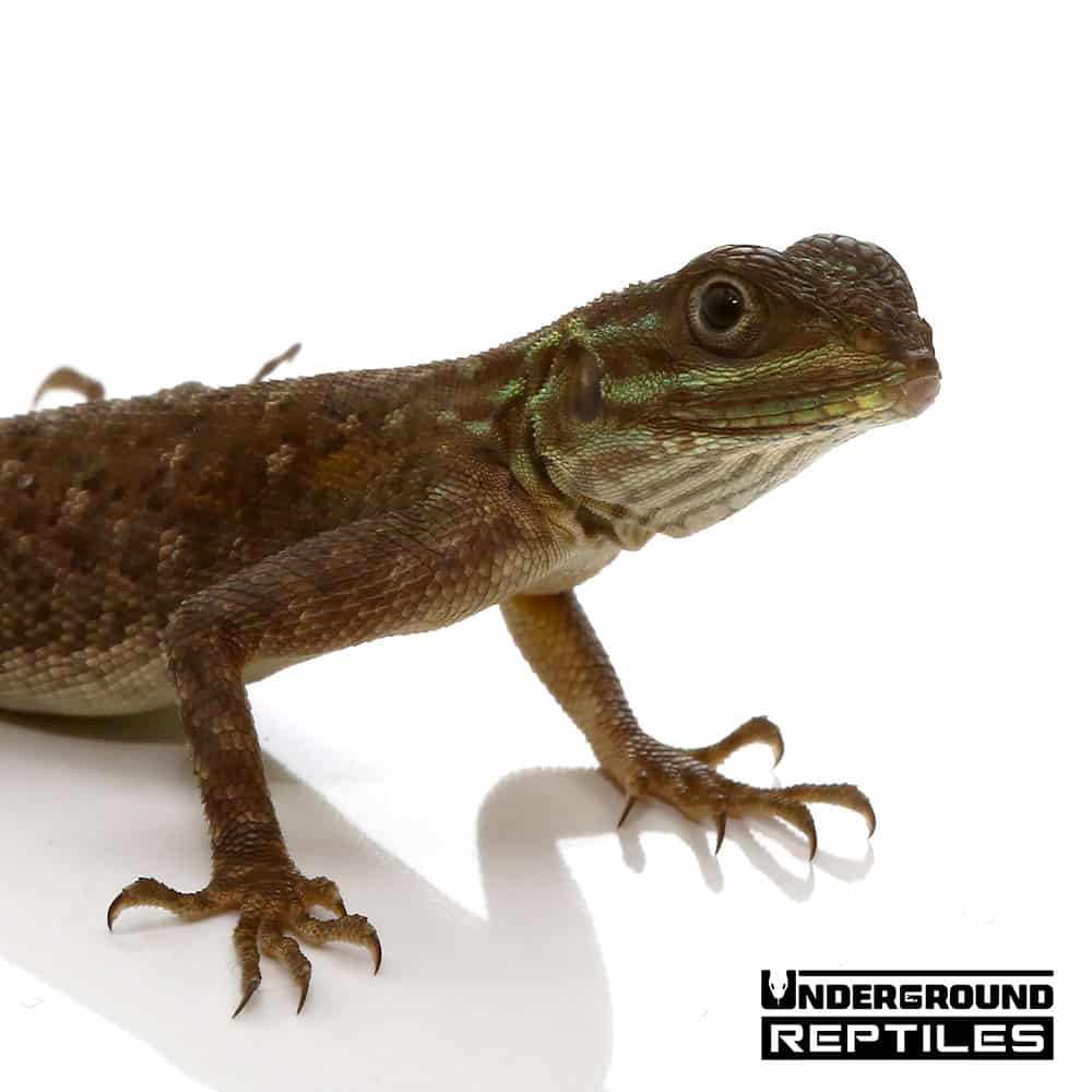 Baby Red Headed Agama