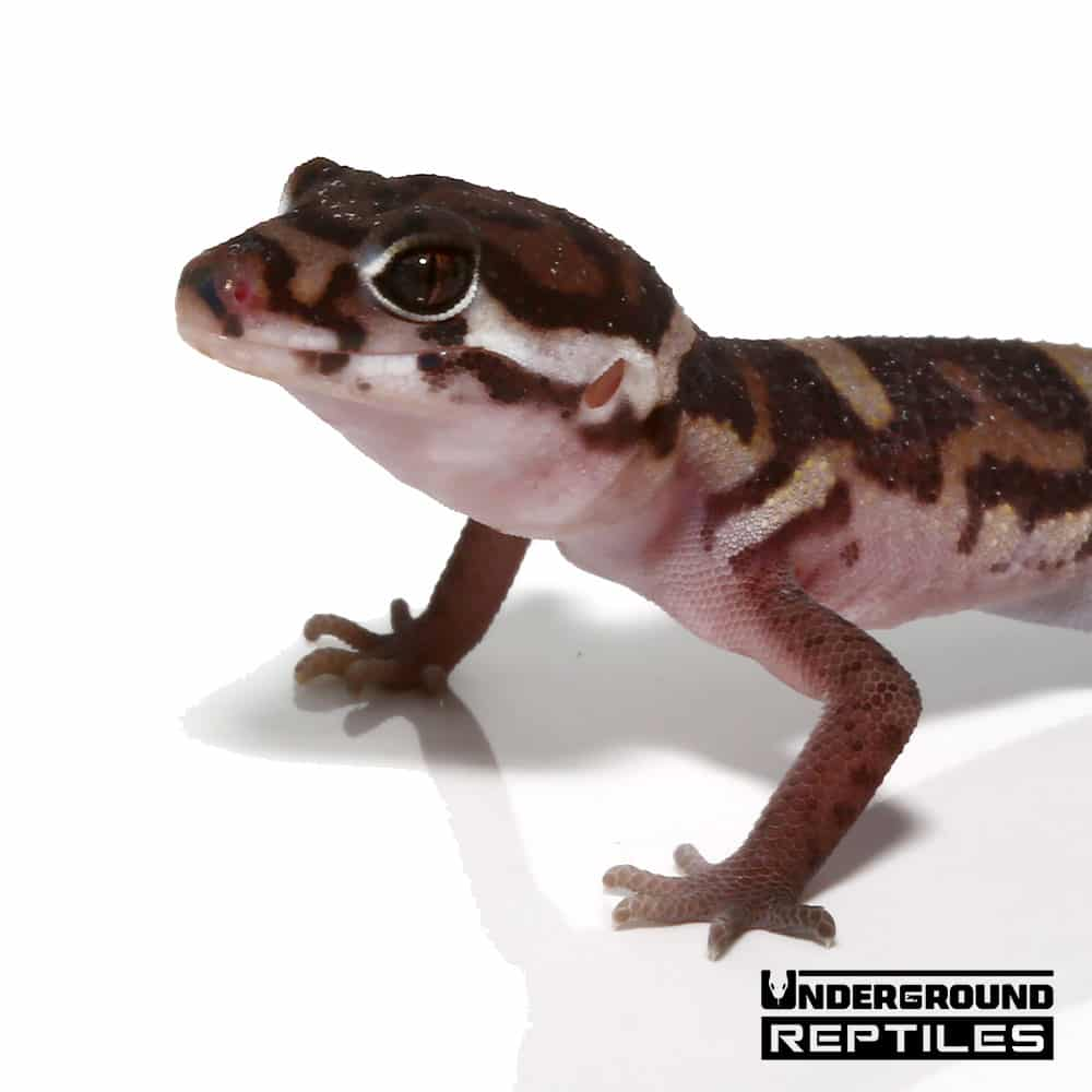 Central American Banded Gecko