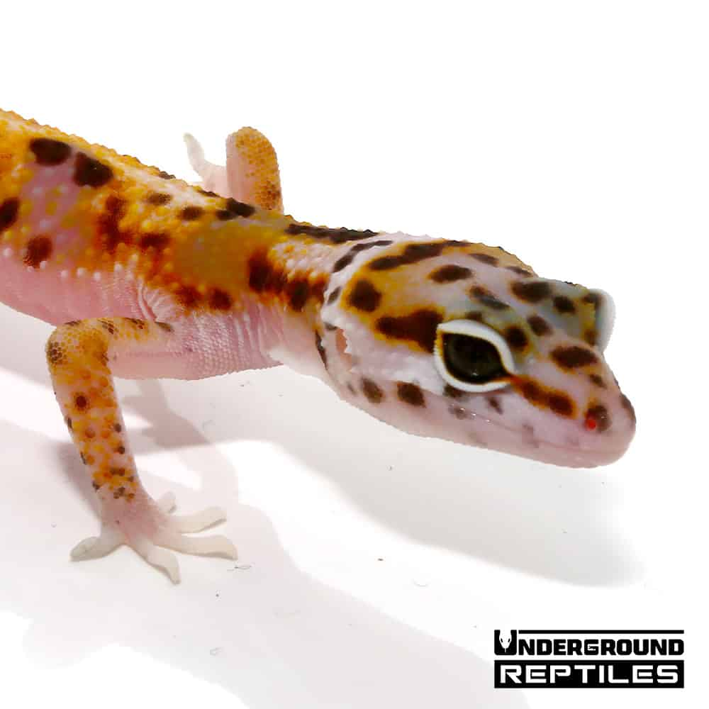 Juvenile White And Yellow Mac Snow Leopard Gecko